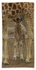 Rothschild Giraffe Calf Hiding Beach Towel