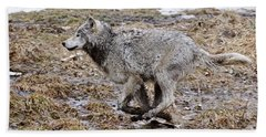 Beach Towel featuring the photograph Running Timber Wolf by Wolves Only