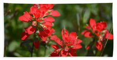 Scarlet Paintbrush. Texas Wildflowers. Castilleja_indivisa Beach Sheet