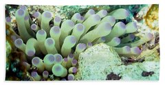 Sea Anemone With Squat Anemone Shrimp Family Beach Towel by Amy McDaniel