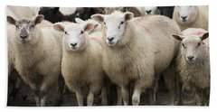 Sheep In A Farm Yard Beach Towel