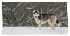 Siberian Husky 20 Beach Sheet by David Dunham