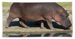 Side Profile Of A Hippopotamus Walking Beach Towel by Panoramic Images