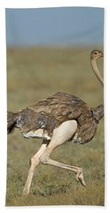 Side Profile Of An Ostrich Running Beach Towel by Panoramic Images