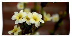 Sisyrinchium Striatum Beach Sheet