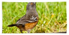 Spotted Towhee Looking Up Beach Towel