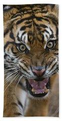 Sumatran Tiger Male Snarling Native Beach Towel