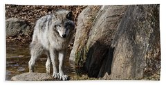 Beach Towel featuring the photograph Timber Wolf In Pond by Wolves Only