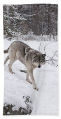 Beach Towel featuring the photograph Timber Wolf  by Wolves Only