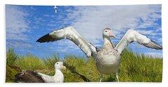 Wandering Albatross Courting  Beach Sheet by Yva Momatiuk John Eastcott