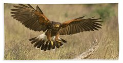 Wild Harris Hawk Landing Beach Towel