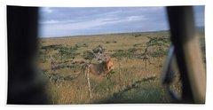 Wild Lions In Kenya, Africa Beach Towel