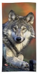 Beach Towel featuring the photograph Wolf Predator Canidae Canis Lupus Hunter by Paul Fearn