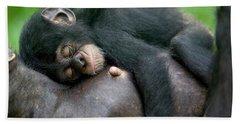 Chimpanzee Pan Troglodytes Adult Female Beach Towel