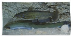 A Large Brown Bullhead Catfish  Boldly Beach Towel