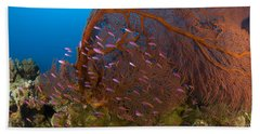 A Red Sea Fan With Purple Anthias Fish Beach Towel
