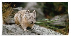 Beach Sheet featuring the photograph American Pika by Doug Herr