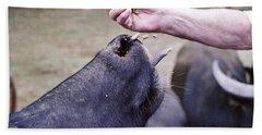 Feeding The Buffalo Beach Sheet