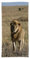 Male Lion's Gaze Beach Towel by Darcy Michaelchuk