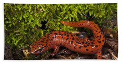 Red Salamander Pseudotriton Ruber Beach Sheet by Pete Oxford