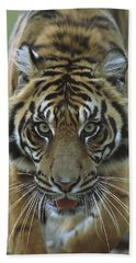 Sumatran Tiger Panthera Tigris Sumatrae Beach Towel