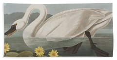 Common American Swan Beach Sheet by John James Audubon