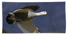 Male Upland Goose Beach Towel