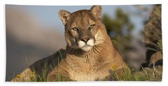 Beach Towel featuring the photograph Mountain Lion Portrait North America by Tim Fitzharris