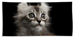 Cute American Curl Kitten With Twisted Ears Isolated Black Background Beach Towel