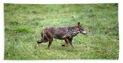 Iberian Wolf Canis Lupus Signatus Beach Towel