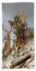 Bristlecone Pine Tree 2 Beach Towel
