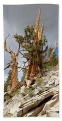 Bristlecone Pine Tree 2 Beach Sheet