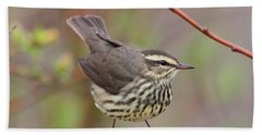 Northern Waterthrush Beach Sheet