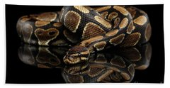 Beach Towel featuring the photograph Ball Or Royal Python Snake On Isolated Black Background by Sergey Taran