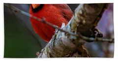 A Cardinal In Spring   Beach Towel