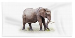 African Elephant Grazing - Isolated On White Beach Sheet