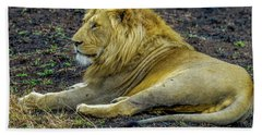 African Lion Resting Beach Towel