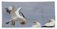 Australasian Gannet With Nesting Material Beach Towel