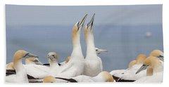 Australasian Gannets Courting Beach Sheet