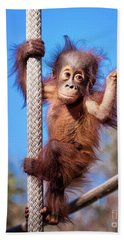 Baby Orangutan Climbing Beach Towel by Stephanie Hayes