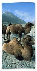Bactrian Camel Camelus Bactrianus Group Beach Towel