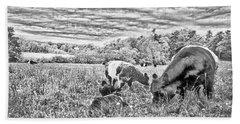 Belted Galloway Beef Cattle Beach Sheet