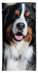 Bernese Mountain Dog Portrait  Beach Towel by Gary Whitton