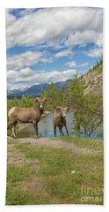 Bighorn Sheep In The Rocky Mountains Beach Towel by Patricia Hofmeester