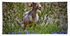 Blooms And Bighorn In Anza Borrego Desert State Park  Beach Towel