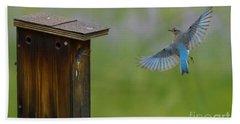 Bluebird Feeding Time Beach Towel by John Roberts
