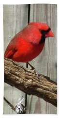 Cardinal Waiting For Spring Beach Towel