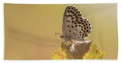 Chequered Blue Butterfly - Scolitantides Orion Beach Sheet by Jivko Nakev