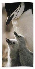 Chinstrap Penguin Pygoscelis Antarctica Beach Towel by Tui De Roy