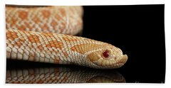 Closeup Pink Pastel Albino Western Hognose Snake, Heterodon Nasicus Isolated On Black Background Beach Towel